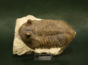 trilobites devónico rusia